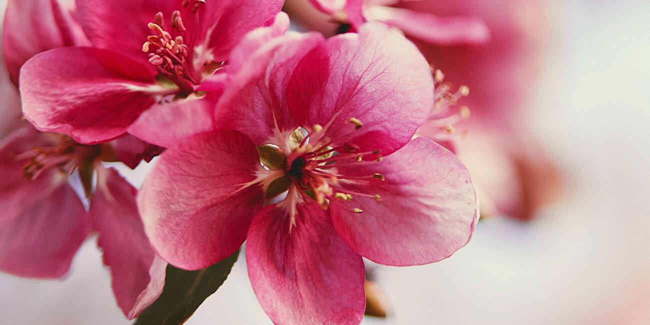 Pink blomst